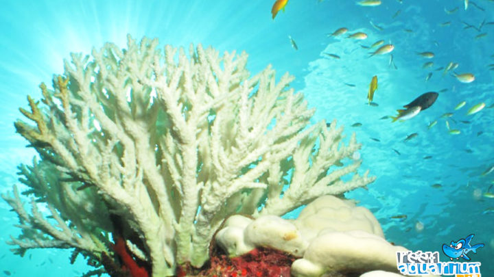 Sbiancamento dei coralli