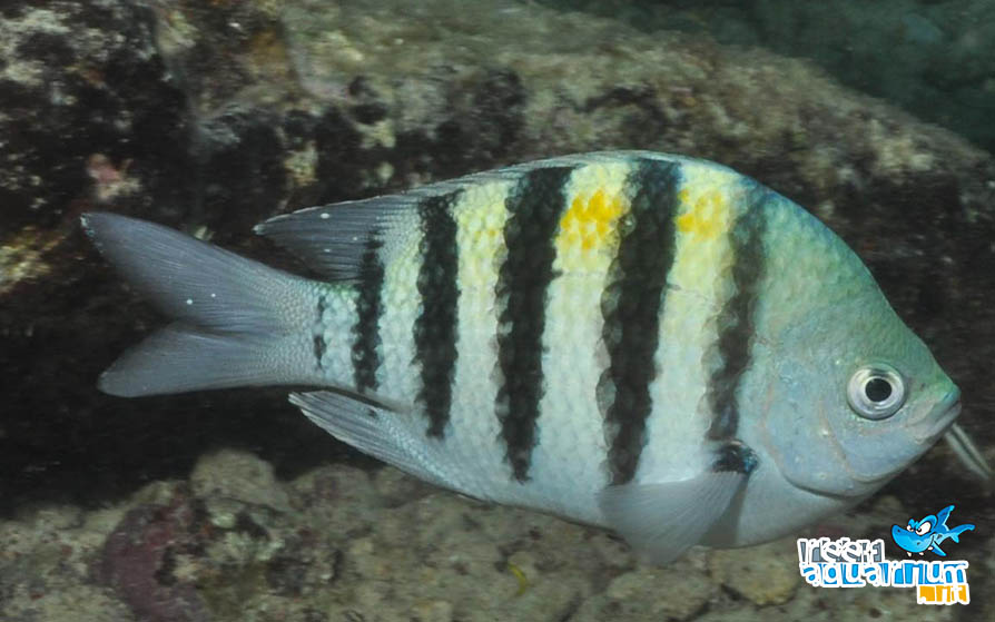 Photo of Abudefduf saxatilis