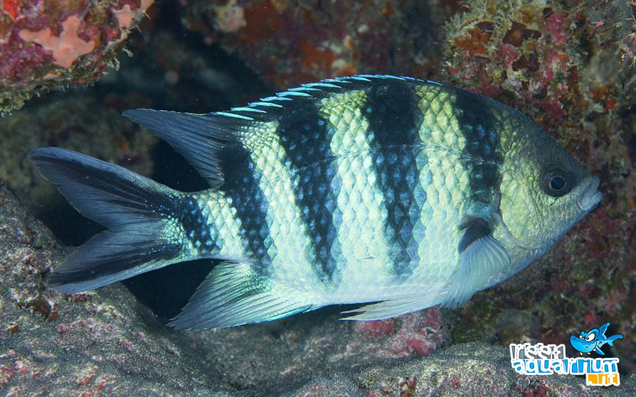 Photo of Abudefduf sexfasciatus