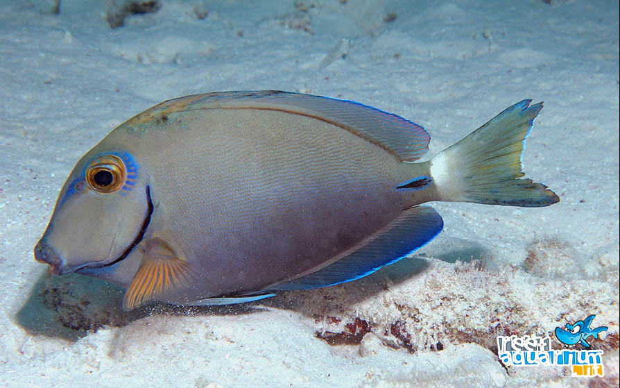 Photo of Acanthurus bahianus