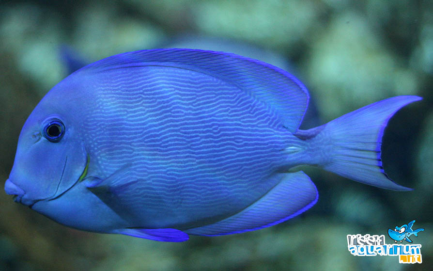 Photo of Acanthurus coeruleus
