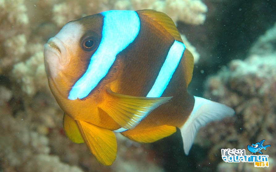 Photo of Amphiprion akindynos