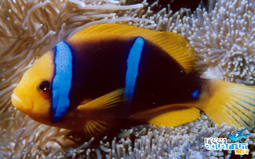 Photo of Amphiprion chrysopterus