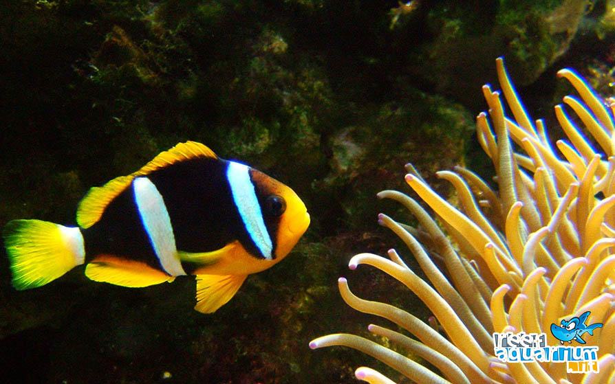 Photo of Amphiprion clarkii