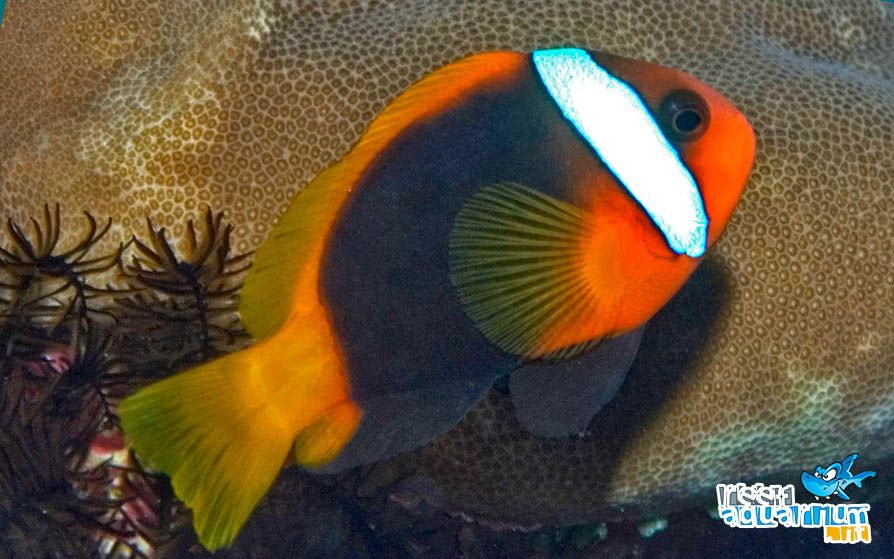 Photo of Amphiprion melanopus