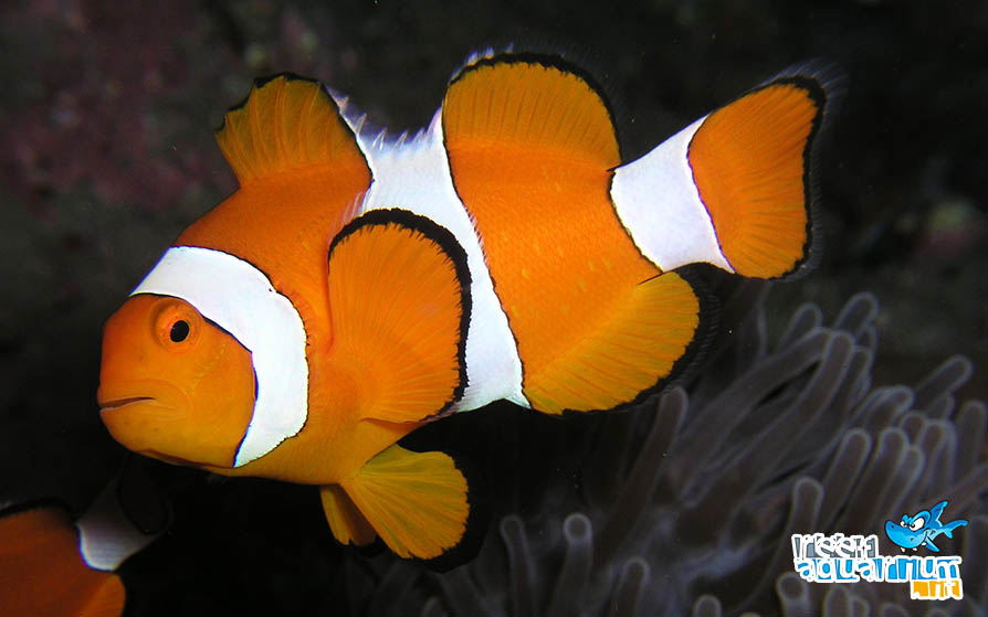 Photo of Amphiprion ocellaris