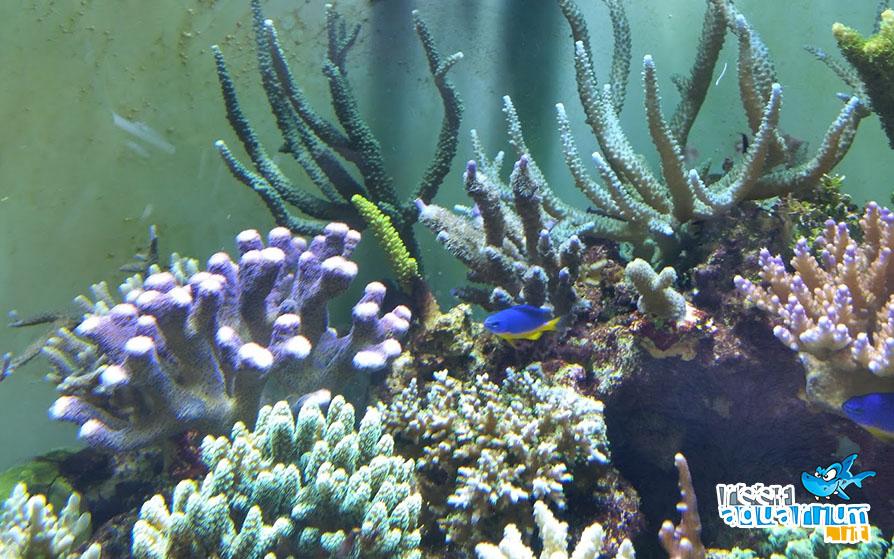 In questa immagine si notano i danni che i cianobatteri possono provocare: attaccano alcuni coralli più deboli alla base e ne favoriscono il tiraggio. Nell'immagine al centro una nobilis in difficoltà.