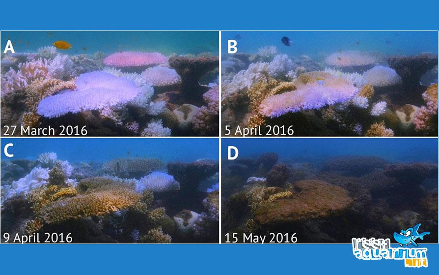 Le ondate di calore uccidono i coralli