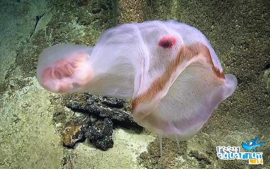 Photo of Deepstaria: la danza della creatura traslucente è ipnotica